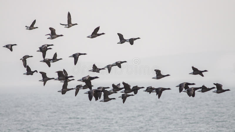 Brent Geese photo stock