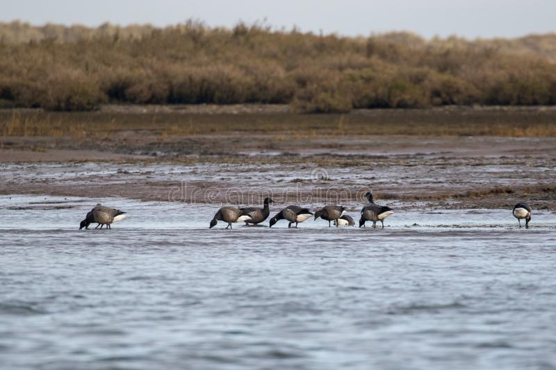 Brent Geese sauvage photographie stock
