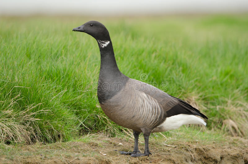 Download Brent goose stock photo. Image of hunt, wildlife, migratory - 24853916
