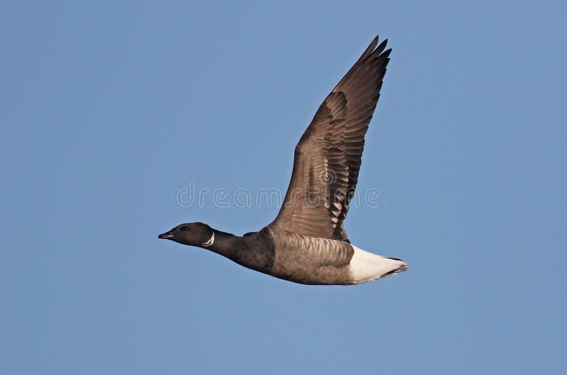 Brent Goose gonflé par obscurité photos libres de droits