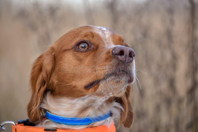 Bretón de Epagneul, bretón del perro de aguas, Brittany Spaniel, bretón criado en línea pura de Epagneul del perro de caza del pe foto de archivo