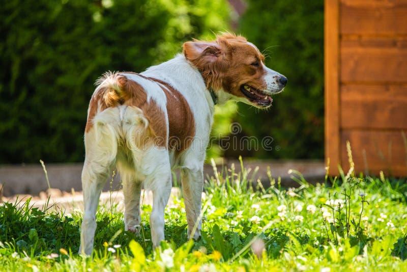 Bretagne Hunde im Garten im Freien laufen und springen mit Ball zu Ball stockfoto