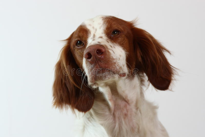Bretagnespanielhund, der zur Seite schaut stockbild