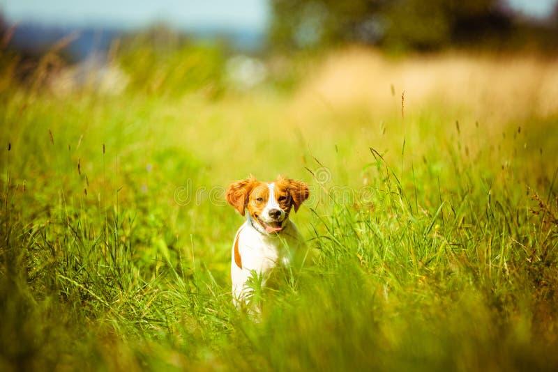 Bretońskiego spaniela szczeniaka żeński bieg w kierunku kamery fotografia stock