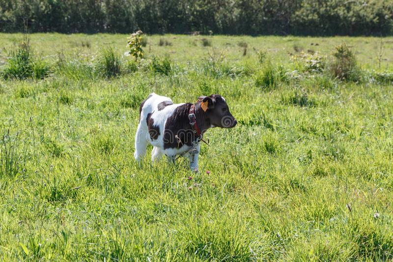 Breton Pie Noire calf. Black and white Pie Noire calf in a field in Brittany royalty free stock images