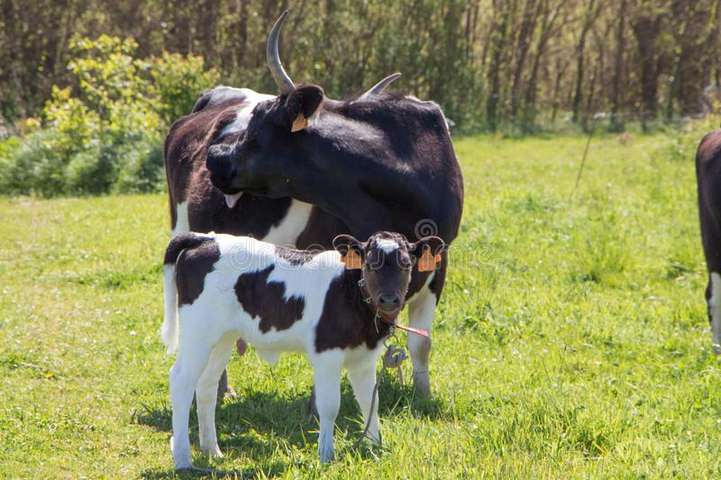 Breton Pie Noire calf and cow. In a field in Brittany royalty free stock images