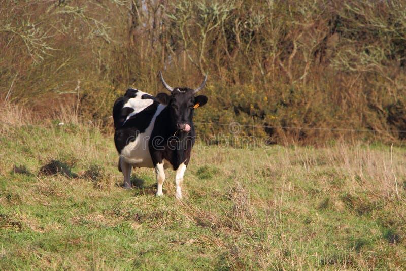 Breton Pie Noire cow. In a field stock photography