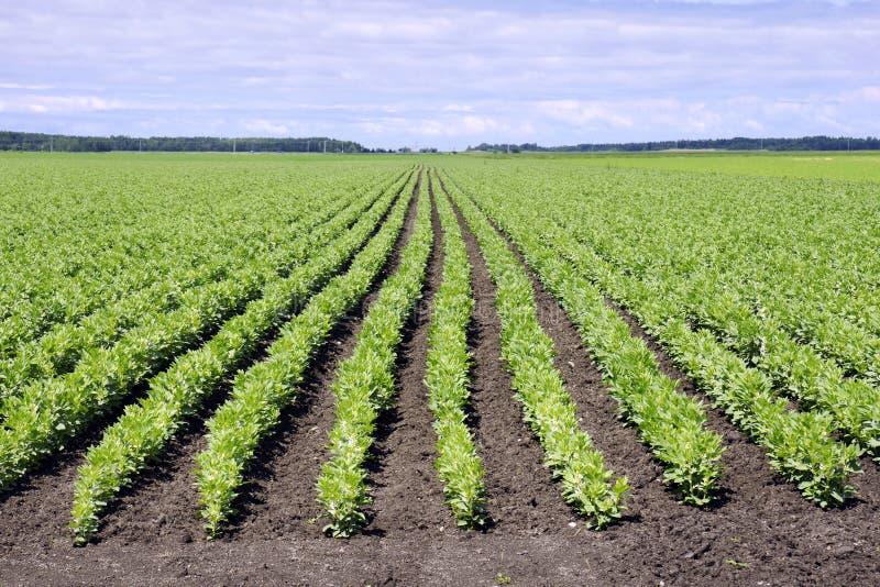 brett fält för böna arkivfoton