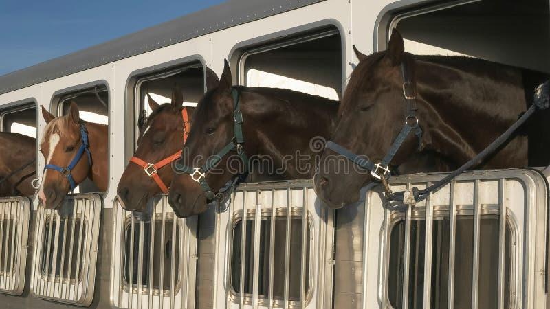 Brett skott av flera hästar i en släp nära kvartsit royaltyfri bild