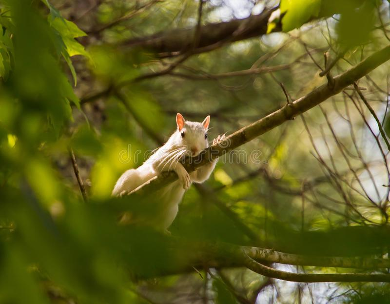 Brevard White Squirrel on Tree Limb. A white squirrel, mascot of the mountain community of Brevard, North Carolina, lounges on a tree branch. The unique coloring stock photography