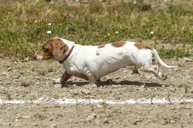 Breve Dachsund nella corsa di cani della salciccia fotografia stock libera da diritti