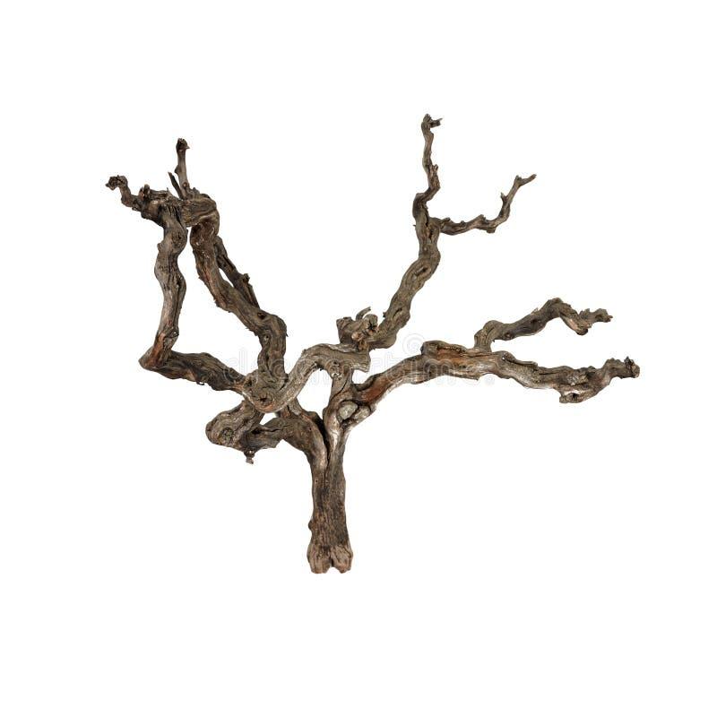 Breve fondo bianco isolato asciutto del ramo di albero dell'uva fotografie stock libere da diritti