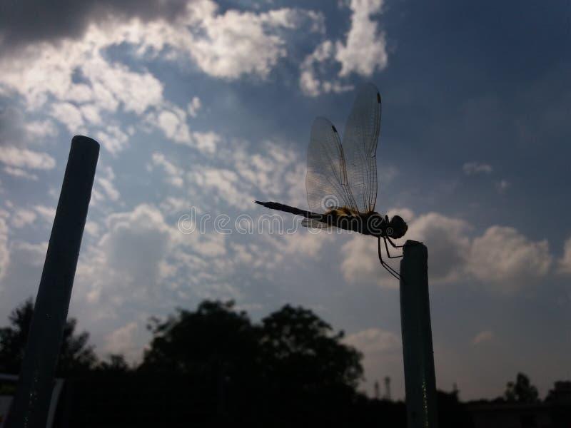 Breve periodo de tiempo, libélula foto de archivo