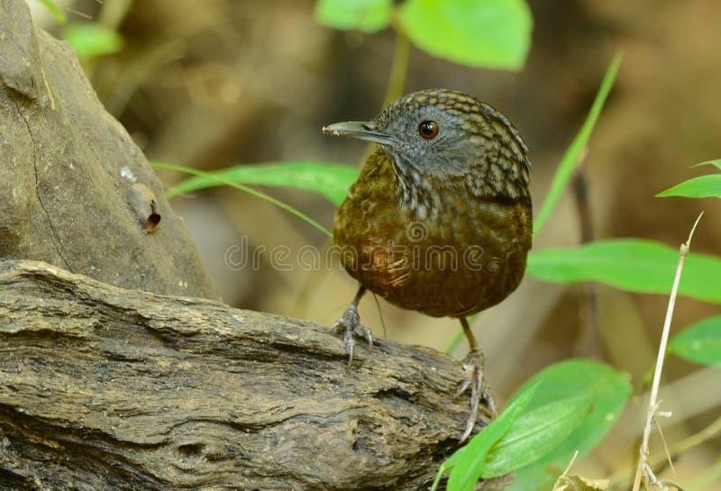 Brevicaudata listado de Wren Babbler Napothera na floresta tailandesa fotos de stock royalty free