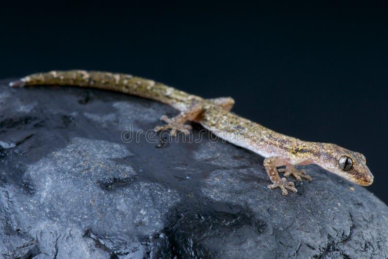 Brevipes del geco/Matoatoa della salamandra fotografia stock