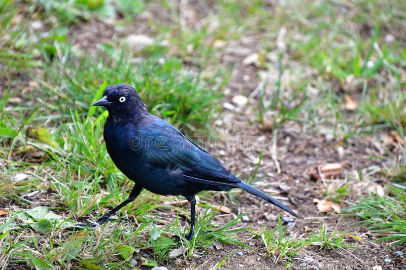A Brewer`s Black-bird perching on the ground.  stock photo