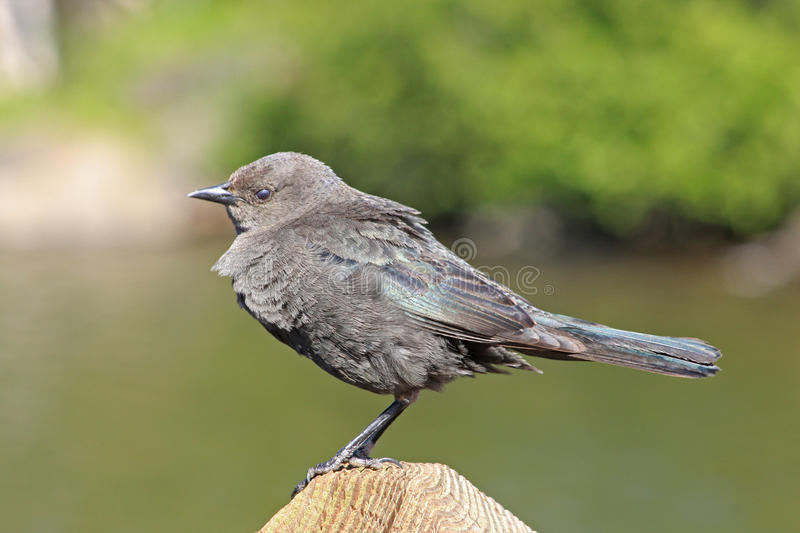 Brewers Blackbird female royalty free stock images