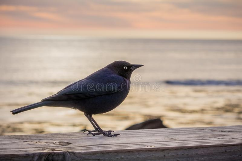 Brewer`s blackbird male sitting on a wooden ledge; the Pacific Ocean at sunset in the background; San Simeon, California royalty free stock photo