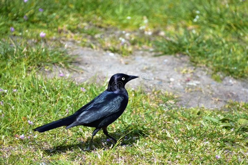 Brewer`s Blackbird is perching on the ground.  royalty free stock images