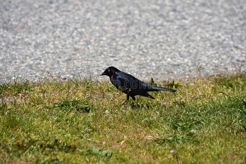 Brewer`s Blackbird is perching on the ground.  royalty free stock image