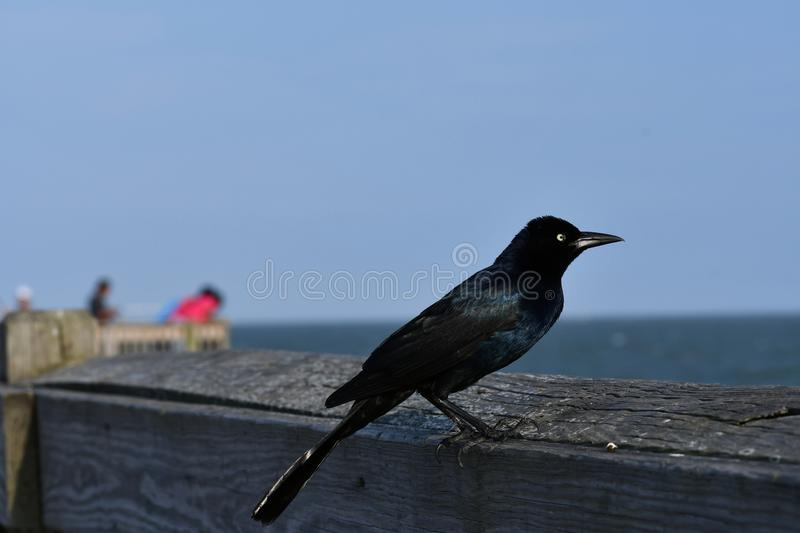 Brewer`s Blackbird - East Coast Atlantic Ocean bird life. This Brewer`s blackbird sits on the pier looking for a free lunch. On Tybee Island, Georgia near stock image