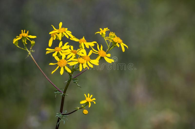 Brewer`s ragwort Packera breweri. Wildflower blooming on the hills of east San Francisco bay area, California stock photography