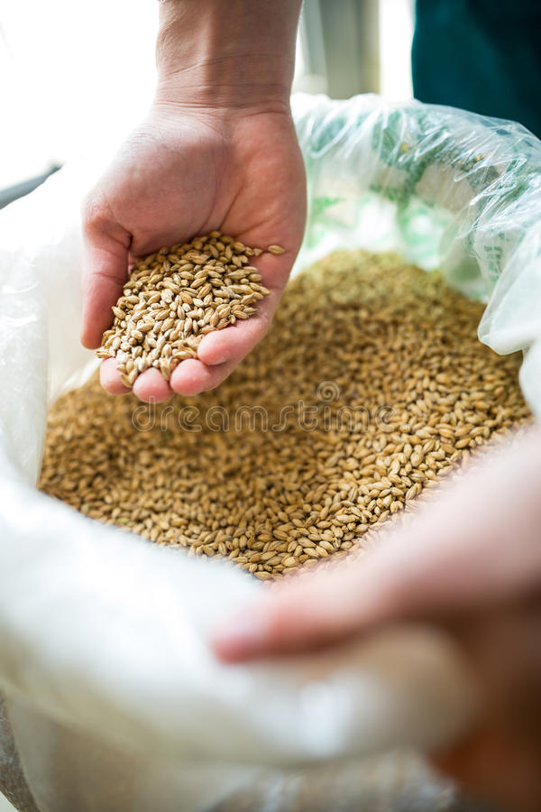 Brewer showing grains. At brewery factory royalty free stock images