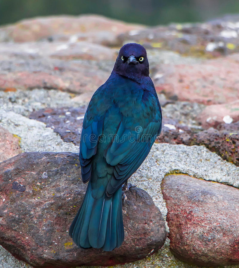 Brewers Blackbird. Exterior shallow depth of field daytime picture of Brewers Blackbird perched on cobblestone wall on sunny fall day royalty free stock photos