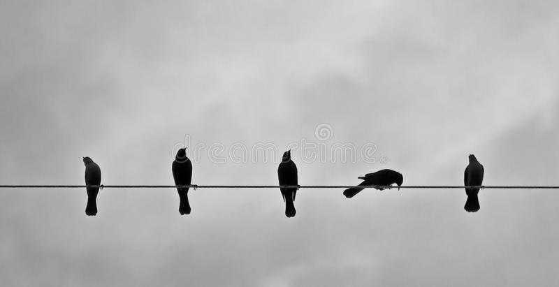 Download Brewers Blackbirds on Wire stock image. Image of euphagus - 22937289