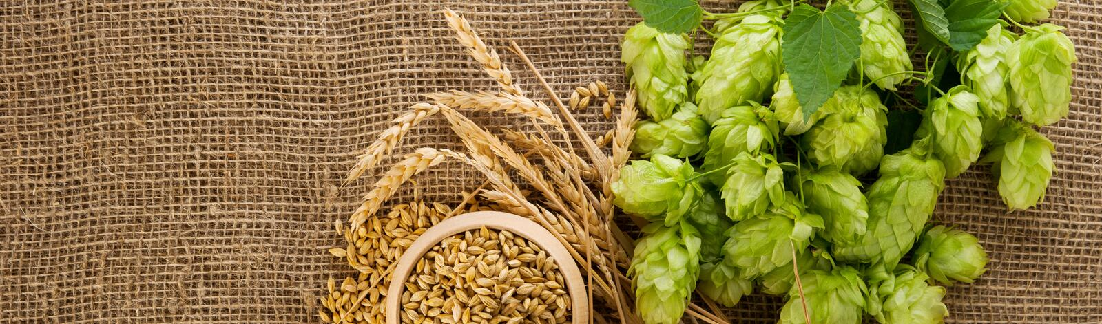 Brewing ingredients. Barley raw grain in wooden bowl, wheat ears and hops green cones on burlap background with copy space, wide stock photos