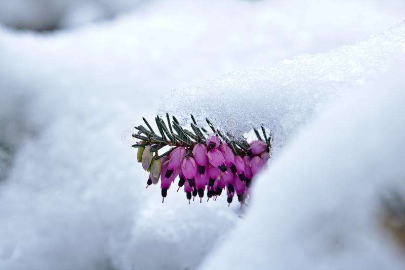 Brezo de primavera nevado en el carnea de Erica de la floración fotografía de archivo