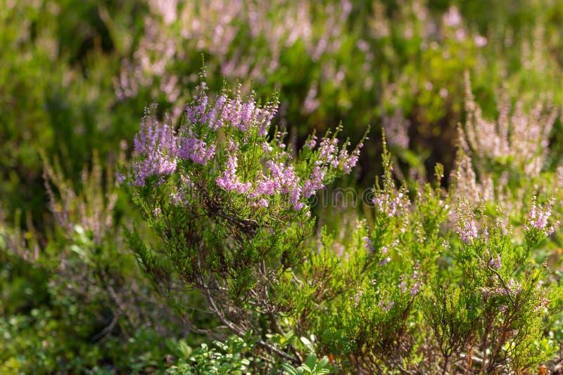 Brezo floreciente en verano imagen de archivo