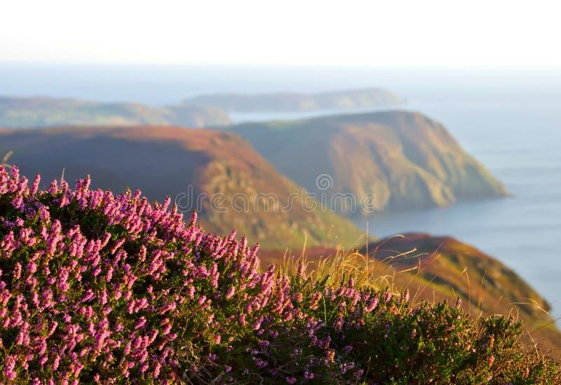 Brezo púrpura, acantilados y mar florecientes Isla de Man fotos de archivo libres de regalías