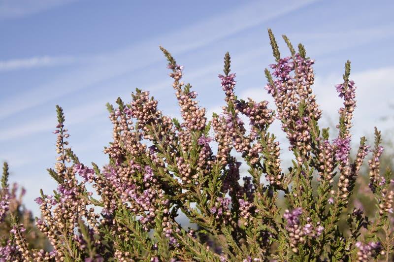 Brezo púrpura en tierra foto de archivo libre de regalías