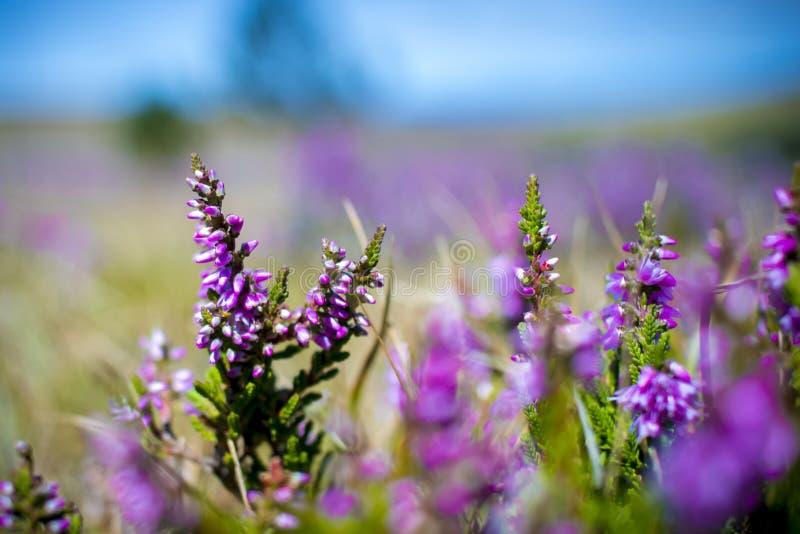 Brezo violeta floreciente aislado en campo fotos de archivo