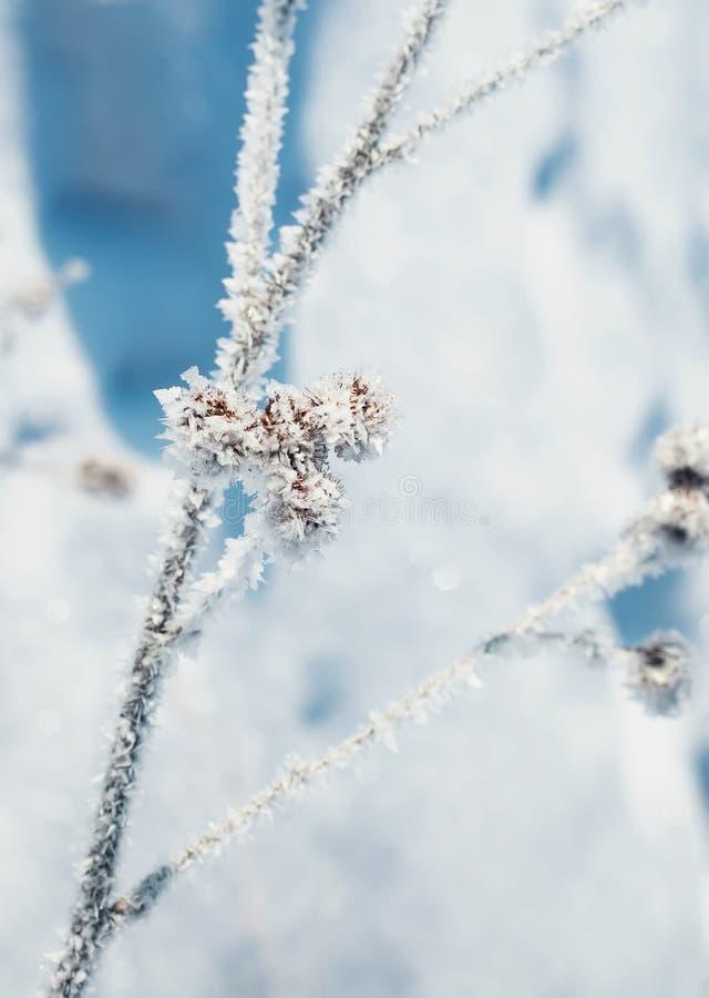 Briar épineux couvert de cristaux brillants de neige et de gelée images libres de droits