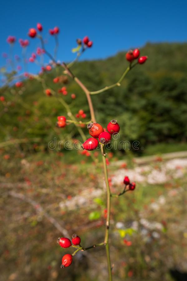Briar bush with fruits royalty free stock images