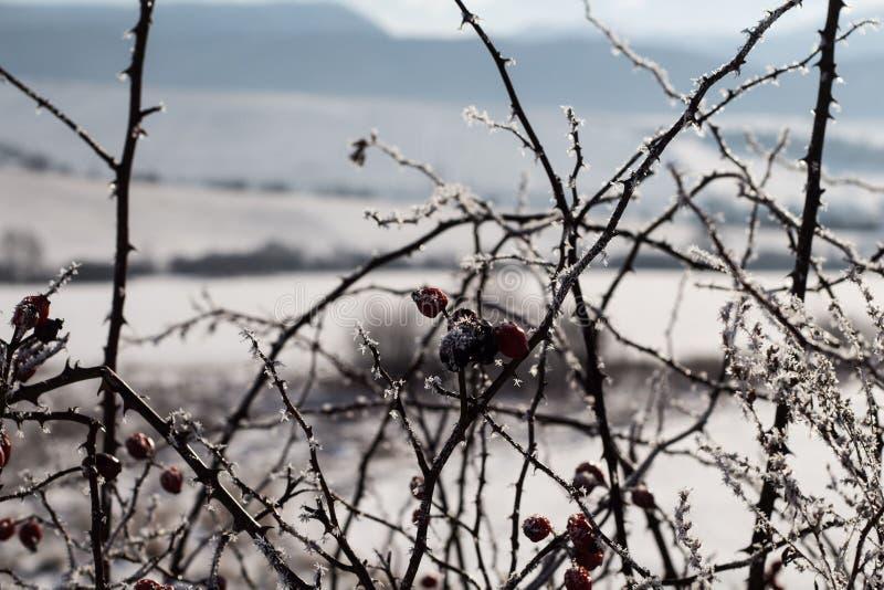 Briar congelé dans le camp de neige photographie stock
