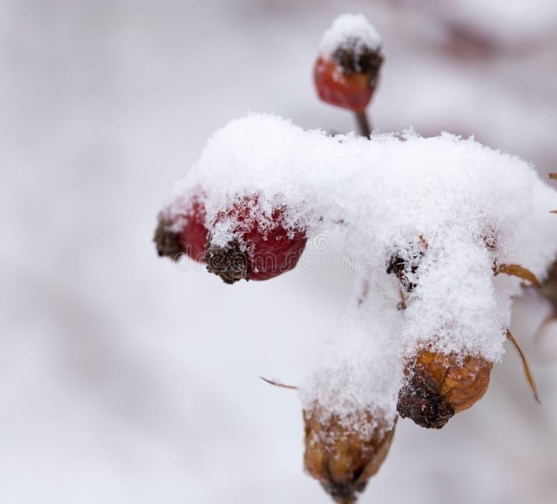 Briar dans la neige Macro images libres de droits