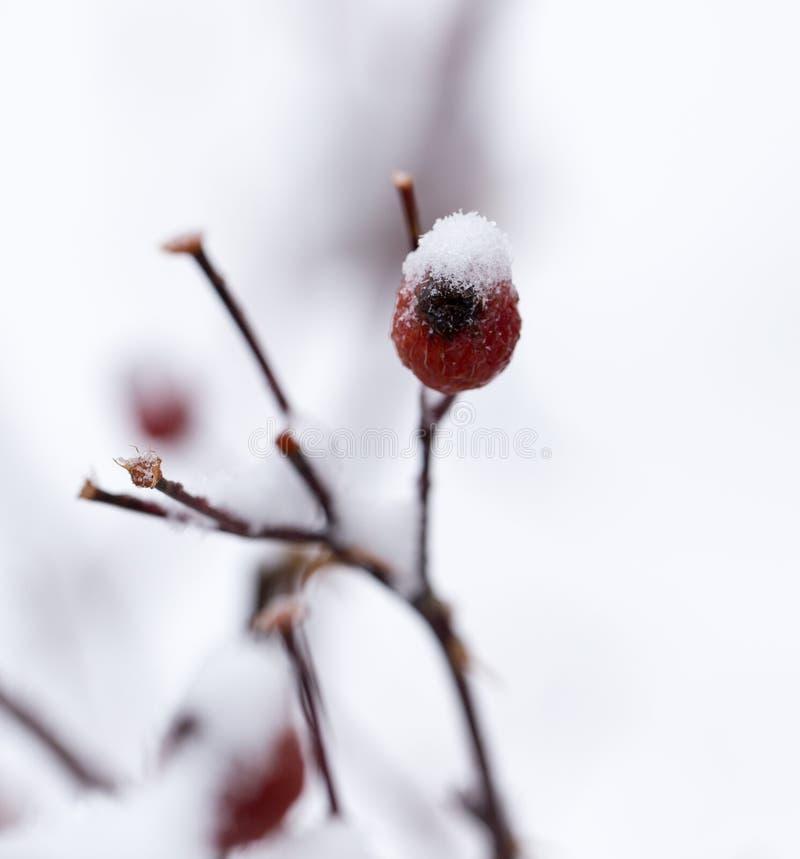 Briar dans la neige Macro photographie stock