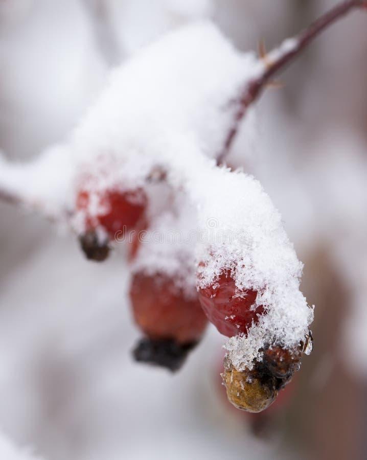 Briar dans la neige Macro photos libres de droits