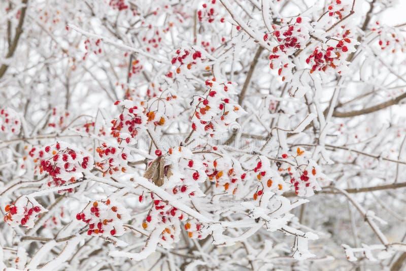 Briar et neige images stock