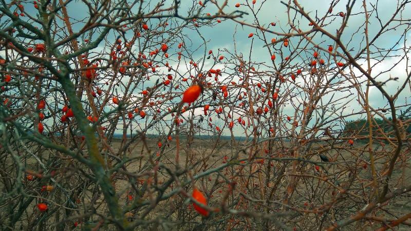 Briar fruit, wild rose hip shrub in nature stock photos