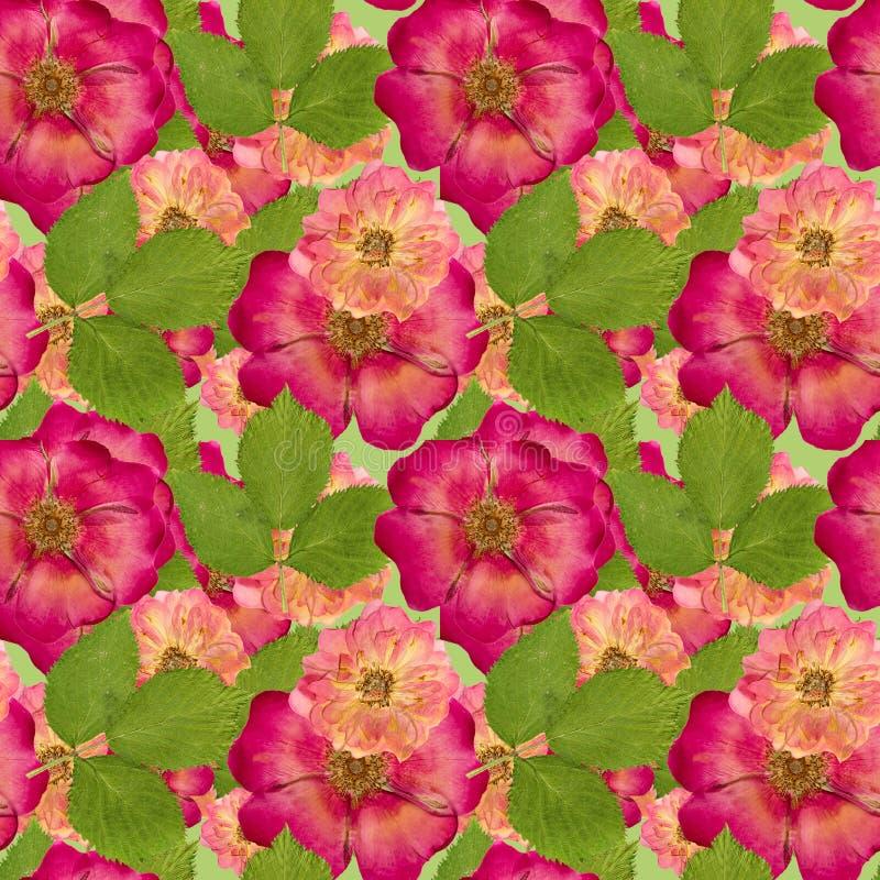 Briar, rosa salvaje, Textura inconsútil del modelo del flowe seco presionado foto de archivo libre de regalías