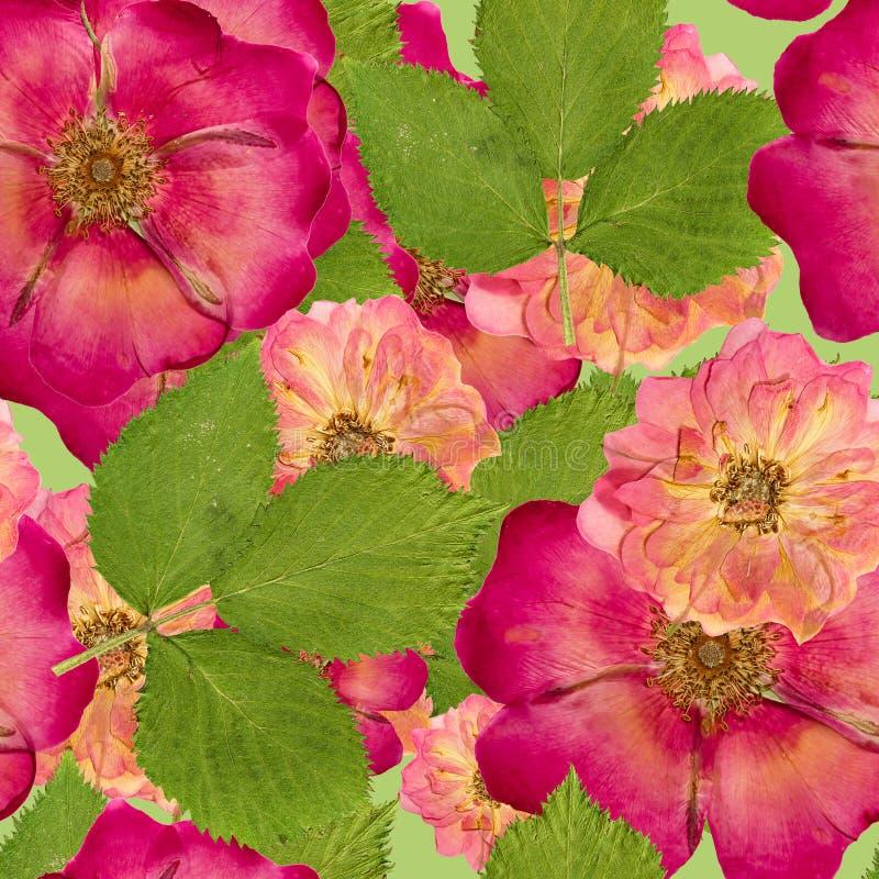 Briar, rose sauvage, Texture sans couture de modèle de flowe sec pressé illustration de vecteur