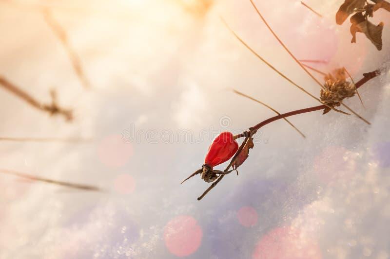 Briar rouge de baie dans la neige images libres de droits