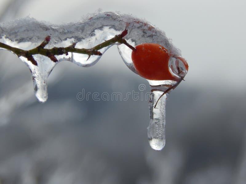 Briar vermelho sob o gelo imagem de stock royalty free