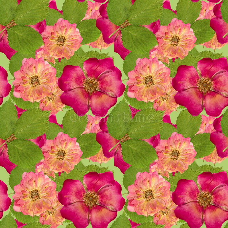 Briar, wild rose,. Seamless pattern texture of pressed dry flowers. Briar, wild rose, dog-rose, brier, canker-rose, eglantine. Colorful texture of pressed dry stock image