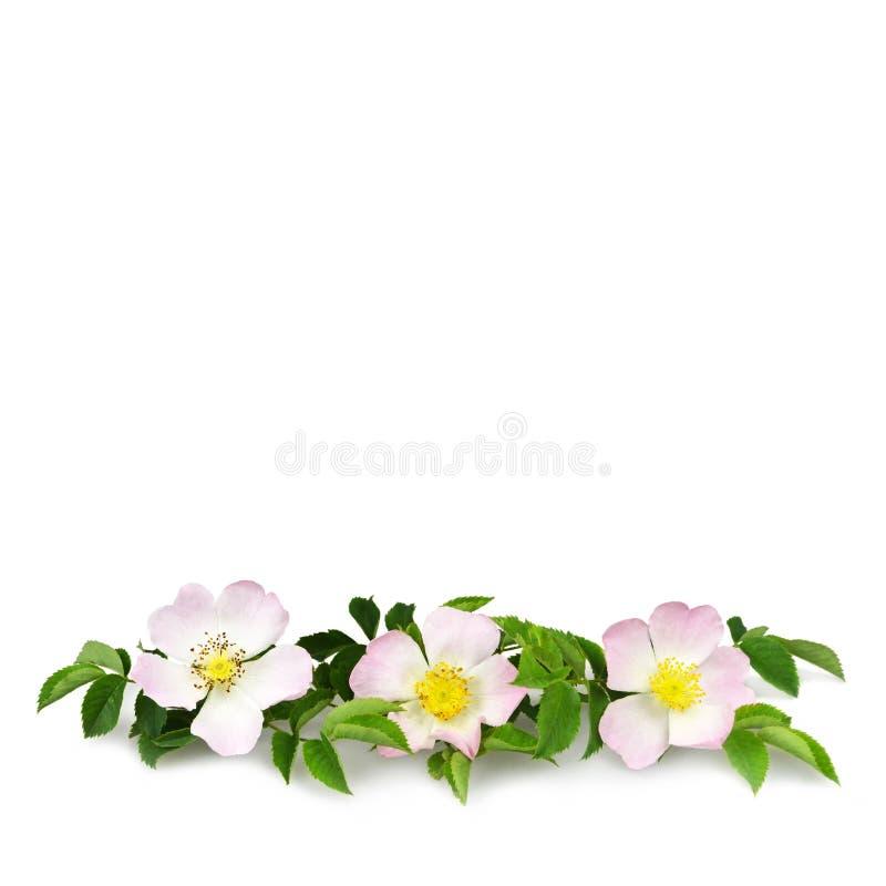 Briarblumen lokalisiert auf weißem Hintergrund mit Kopienraum Hunderosafarbene Blumen lizenzfreie stockfotos