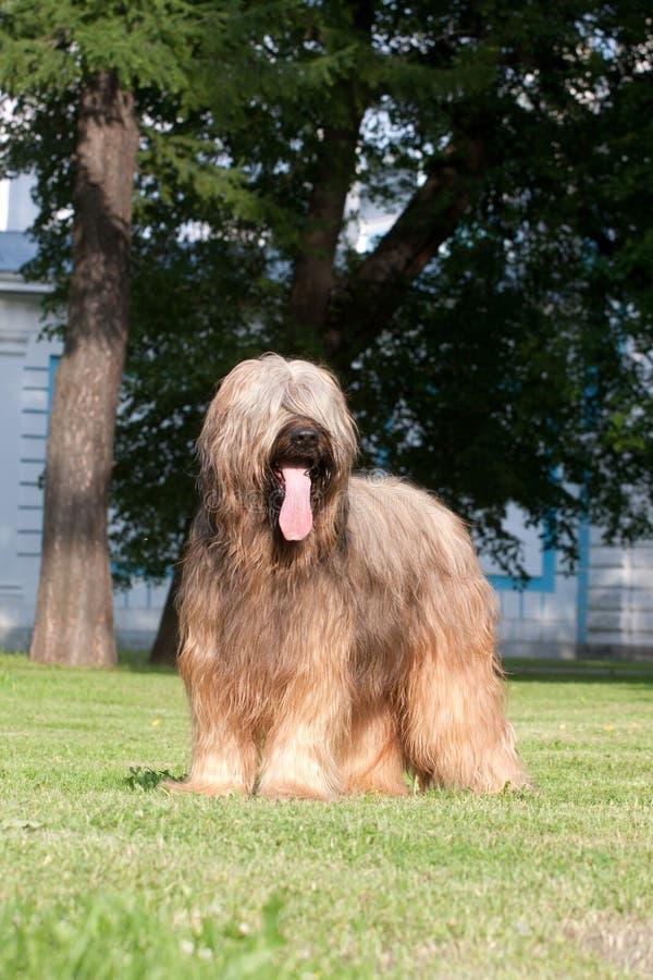 briard σκυλί στοκ εικόνα με δικαίωμα ελεύθερης χρήσης